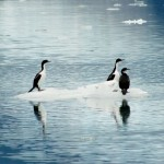 ob_1f538e_chili-canauxa-senopia-cormorans