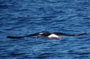 Arg-Albatros1
