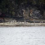 CaletaShinda-Cormorans
