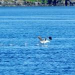 Chili-Magellan-Albatros