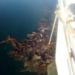Chili-Magellan-BahiaMussel-Kelp