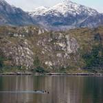Chili-Magellan-Cormorans