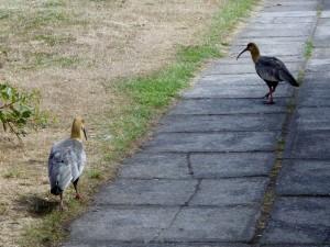 PuertoVaras-ibis2 (1280x961)