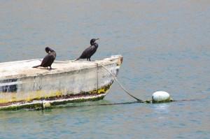Arica-Cormorans