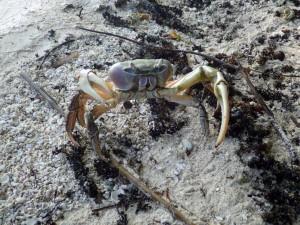 Rando-Crabe2